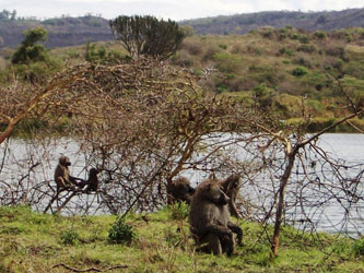 Baboons in Arusha National Park