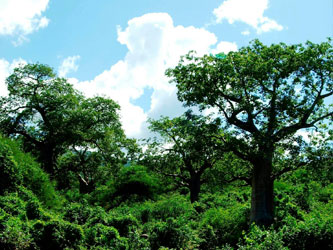 Baobab forest maasai hike