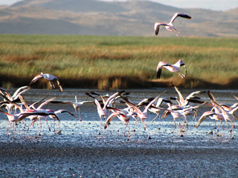 Flamingos in the Lake Natron