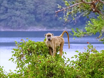 Baboon in the Lake Chala