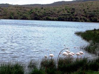 Momella lake flamingos