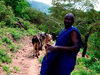 Maasai cattle hike