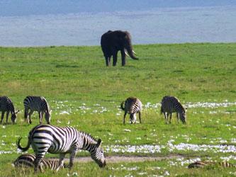 Elephant and zebras in Ngorongoro
