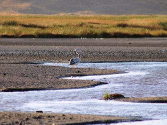 Pelican in the Lake Natron
