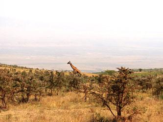 Giraffe dans l'aire de conservation du Nrorongoro