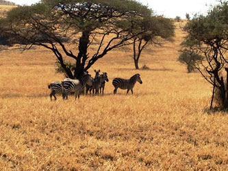 Zèbres dans la savane Ol Doinyo Lengai