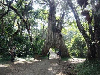 Gran árbol en Monte Meru