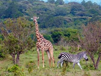 Jirafas y cebras en Parque Nacional Arusha