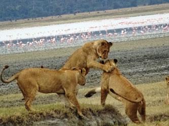 Leones en Cráter de Ngorongoro Crater