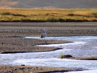 Pelicano en Lago Natron
