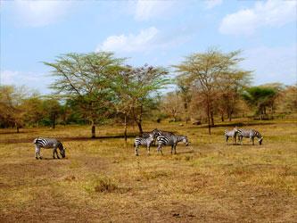 Safari caballo cebras