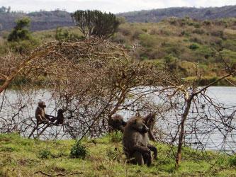 Babouins dans le parc national d'Arusha