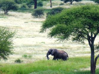 Eléphant à Tarangire
