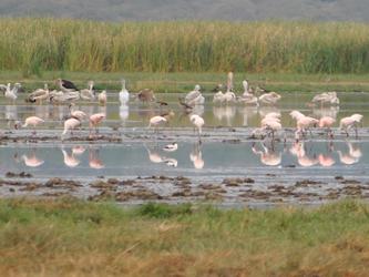Flamants roses sur le lac Manyara