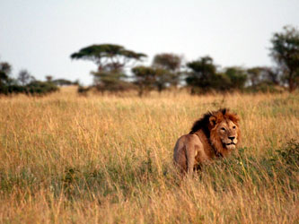 Lions au Serengeti