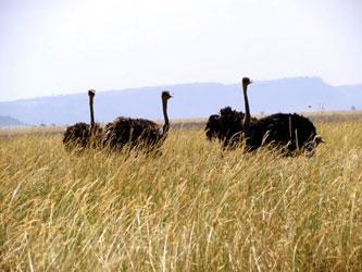 Autruches au Serengeti