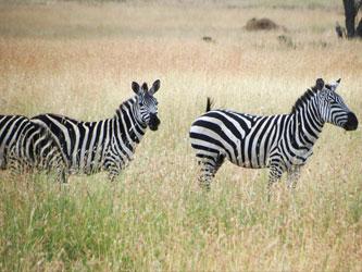 Zèbres au Serengeti
