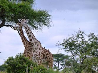 Girafes dans le Parc national de Tarangire